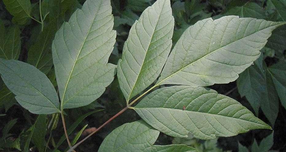 Американский клен - листья