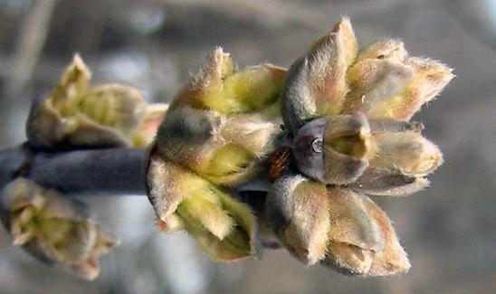 Ясенелистный клен - почки