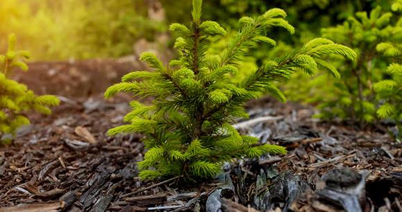 Мульчирование хвойных деревьев