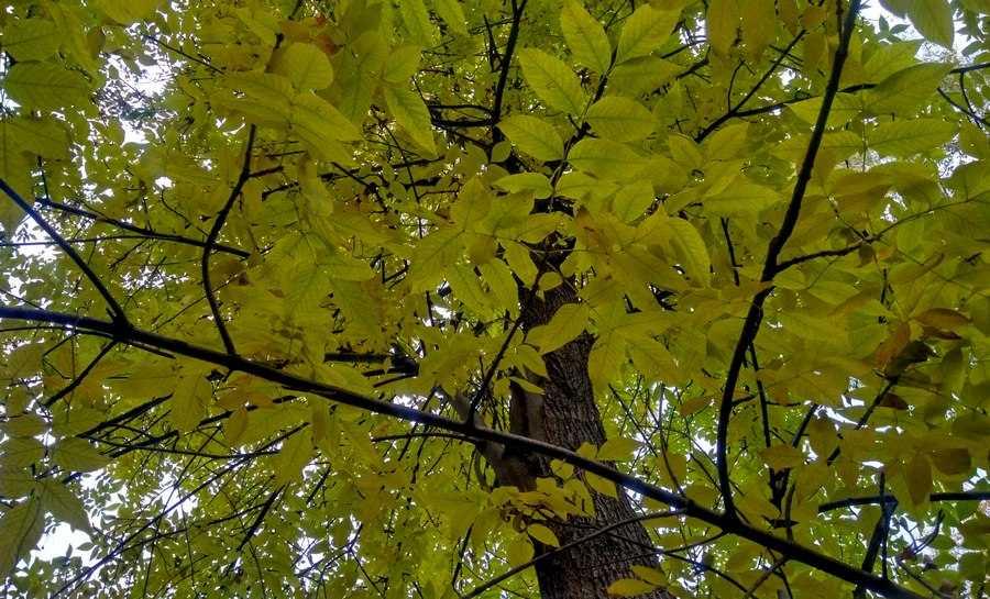 Ясень - листья